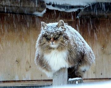 siberian-farm-cats