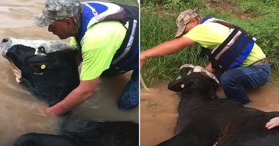 man-helping-cow